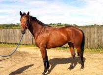 4yo French bred Mare for sale picture
