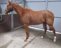 Hunt Ball Half Brother Horse for sale picture