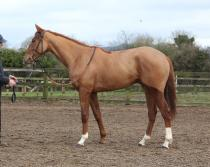 3yo Strategic Prince Colt for sale picture